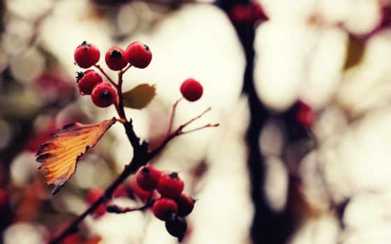 макро, осень, природа, branch, растения, листва, картинка, обработка, ягоды,