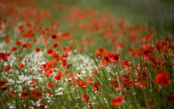 cvety, полевые, нежные, цветов, сумел, many, красоту,