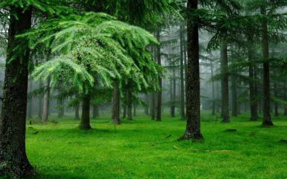 лес, еловый, леса, беларуси,