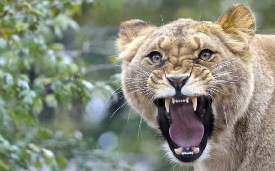 львица, lion, ухмылка, львы, рычащая, несмотря, взгляд, красивые, агрессия, медведя, большие,