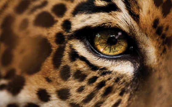 леопарда, глаз, national, geographic, glaza,