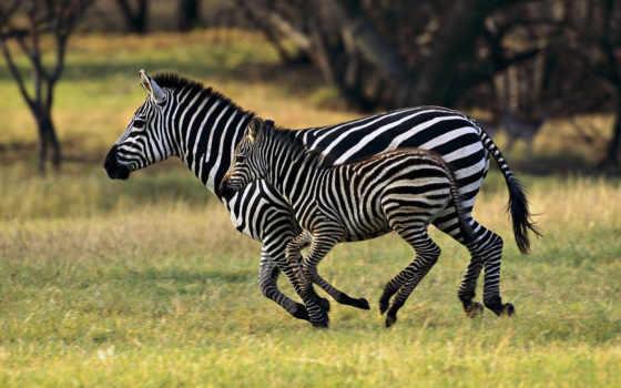 взгляд, они, zebra, зебры, бежит, зебр,