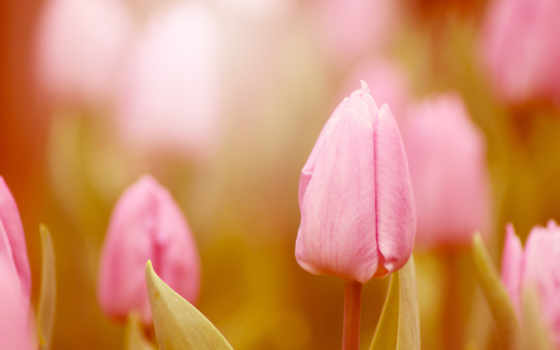 тюльпаны, розовые, цветы Фон № 56347 разрешение 2560x1600