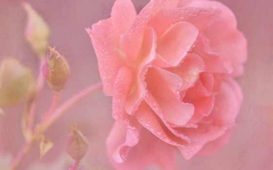 water, розовый, роза, drops, цветы, flowers, roses,