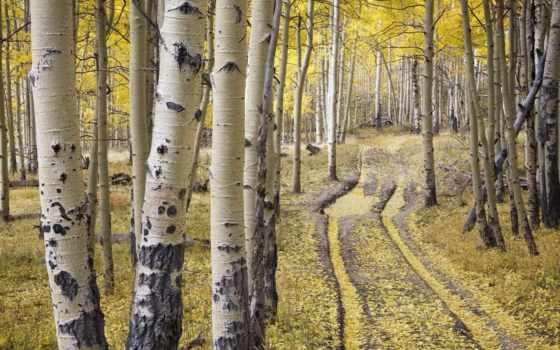 осень, береза, лес, trees, березы, grove, золотая, березовая, футажи, осенью,