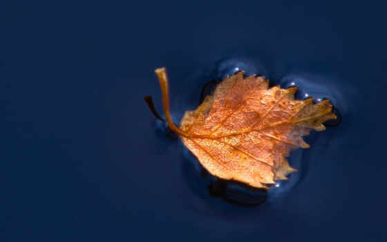 плавающий, water, leaf,