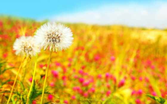 одуванчики, поле, белые, цветы, весна, dandelions,