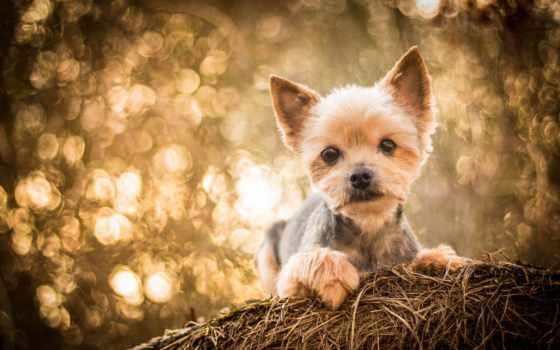 йоркширский, собака, бультерьер, tapety, pulpit, взгляд, бесплатные, стрижка, собаки,