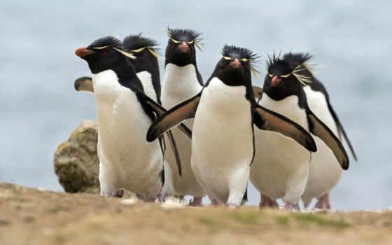 пингвины, птицы, широкоформатные, zhivotnye, королевские,