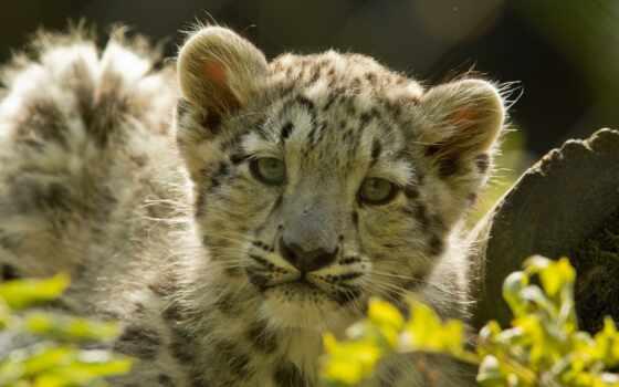 леопард, снег, reply