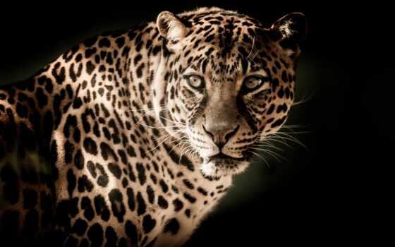 леопард, хищник, animal, free, тематика, fonwall, взгляд, качественные, one