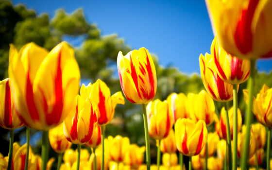 цветы, тюльпаны, summer