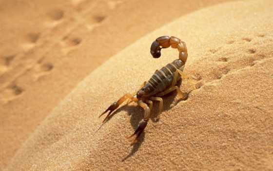 животные, scorpion, пустыня