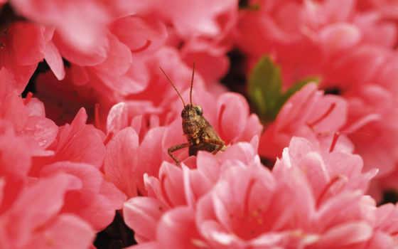 locust, desktop, кузнечик
