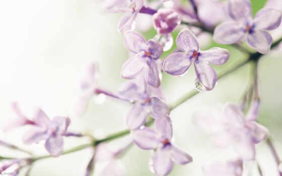 цветы, сирени, сиреневый