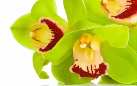 орхидея, цветы, browse