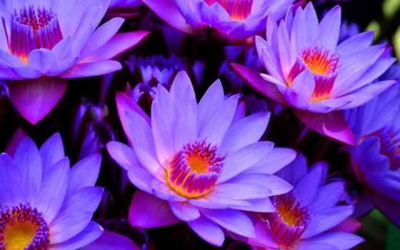 lotus, цветы, flowers, purple, blue, desktop,
