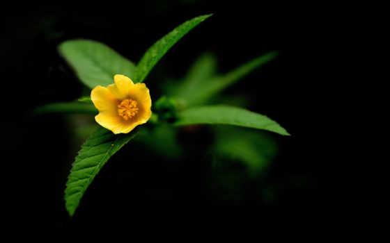 fone, черном, cvety, цветочек, цветы, желтенький, кб, цветов, yellow,