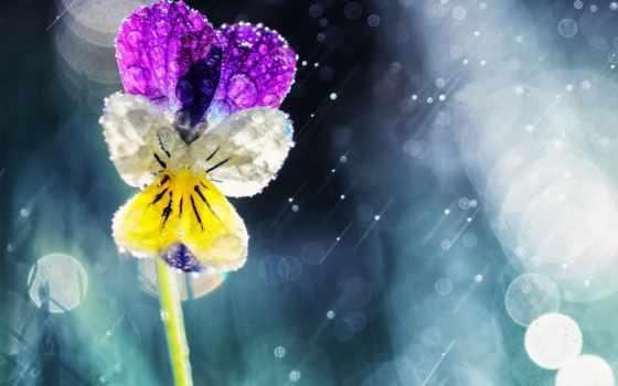 глазки, анютины, цветы, дождь, под, дождем, боке, солнечных, бликах, виола,