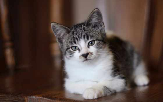 кот, взгляд, котенок, свет, внимательный, серого, кота, zhivotnye, серые, трава,