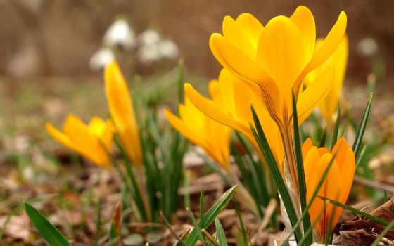 cvety, желтые, весна, feb, крокусы, pack, koi, март, time, трава,