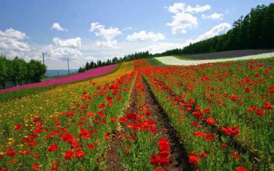 маки, цветы, облака, japan, hokkaido, небо, landscape, полосы, природа, окинава, лето, furano, холм, farm, field, ряды, грядки,