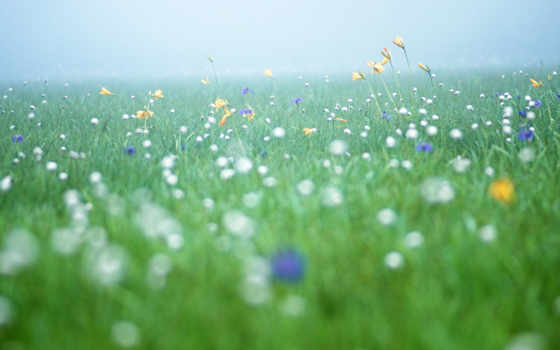 cvety, pole, утро, туман, полевые,