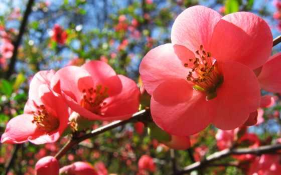 цветы, вишни, весна, розовые, cherry,
