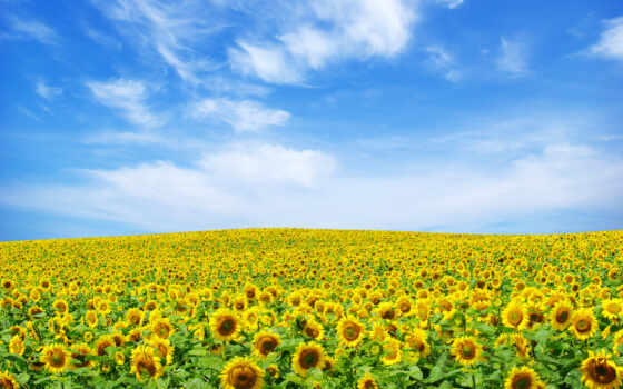 небо, подсолнухи, поле
