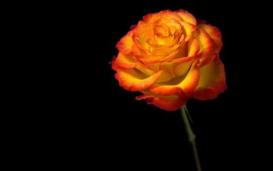 цветы, анимации, анимация, красивые, роза, макро,