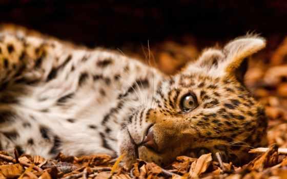 леопард, small, zhivotnye,