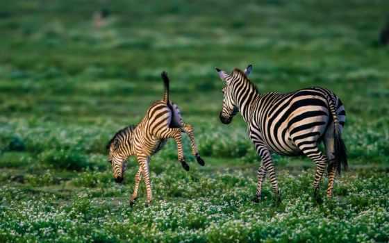 зебры, afryka, животных