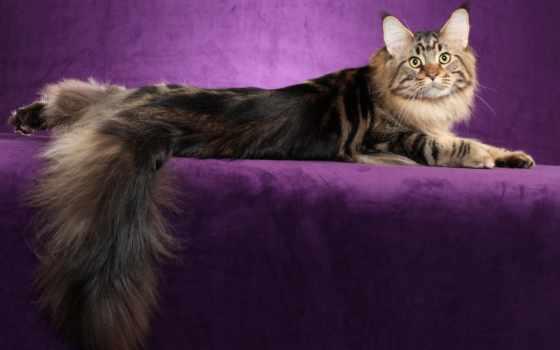 кот, mein, kun, породы, норвежская, лесная, кошек, персидская, мех, порода, tail,