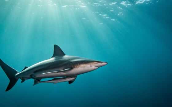 акула, cover, animal