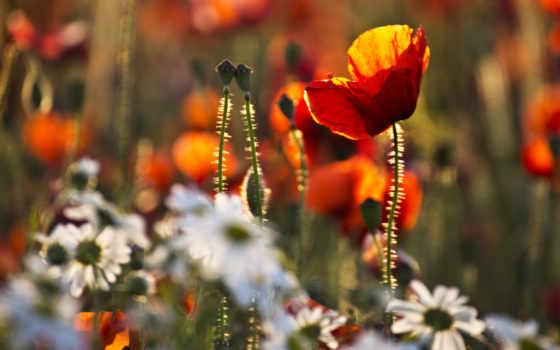 маки, ромашки, цветы, белые, you, трава,