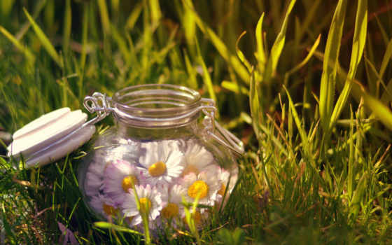 cvety, ромашки, банке, рoмашек, лежащие, бутоны, траве, трава, ytyz, заставки,