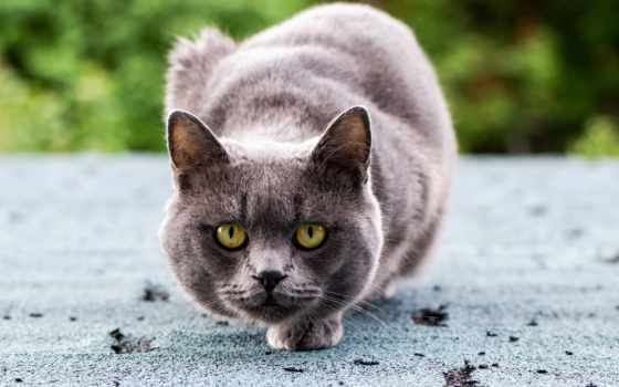 кот, кошки, hunting, серый, glaza, хищник,