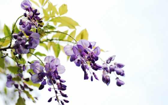 cvety, листва, white, ветки, wisteria, гроздья, картинка,