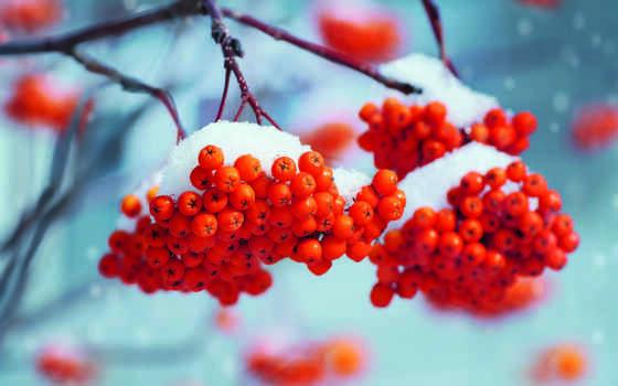 рябина, снег, stokovyi, ягода, фото, диета, цена, branch, available, winter, eliseev