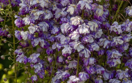 wisteria, вистерия, цветы, часть,