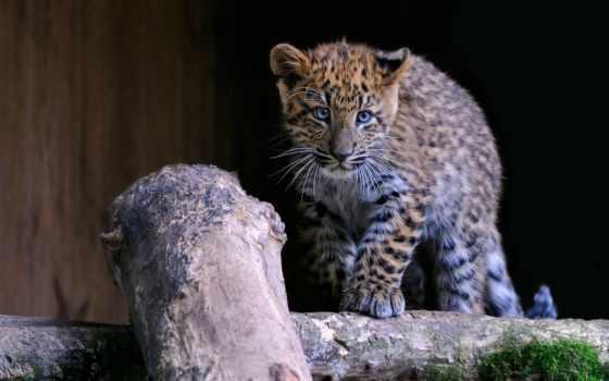 леопард, animal, детёныш