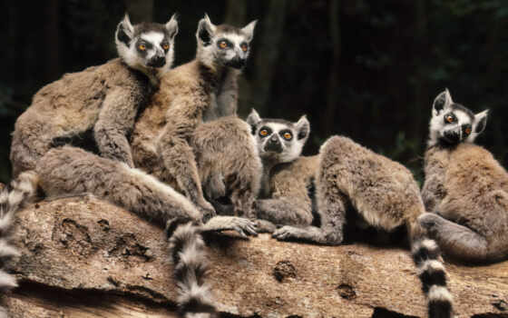 animals, мадагаскар, lemurs, lemur, best, pet, life, high,