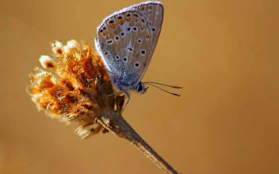 адонис, blue, бабочка,