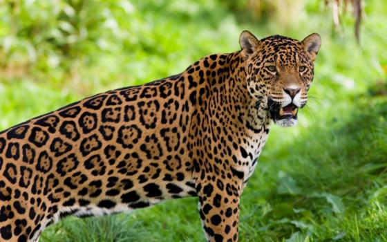 jaguar, peligro, zhivotnye, extinción, mexico, может, чему, снится,