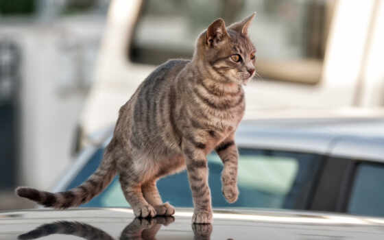 кот, domestic, new, порода, short