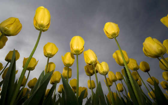 tulips, wallpapers, wallpaper, тюльпаны, flowers, yellow, hd, небо, роса, free, зеленый, желтый, download, обоев, desktop, nature, background, tulip, желтые,