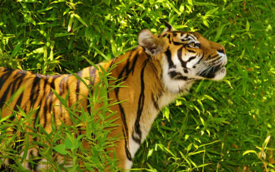тигры, животные