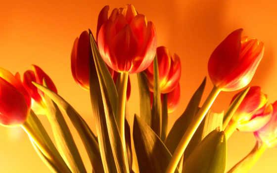 марта, тюльпаны, тюльпан