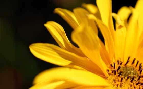 цветы, yellow, petals, resolution, desktop, flowers,