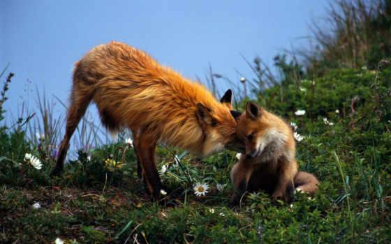 фокс, pair, трава